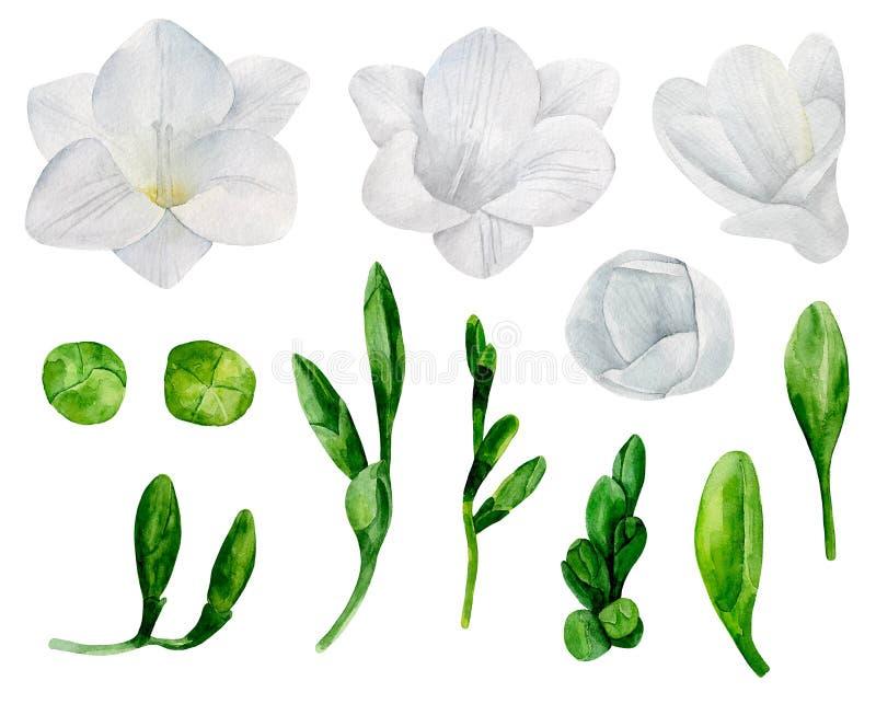 Белый freesia цветет вектор бесплатная иллюстрация