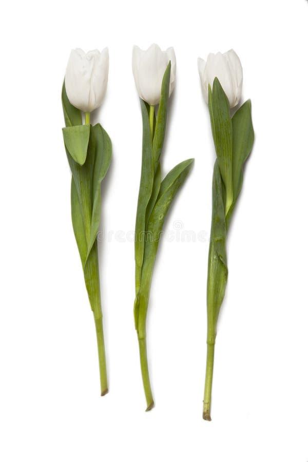 Белые тюльпаны стоковое фото rf