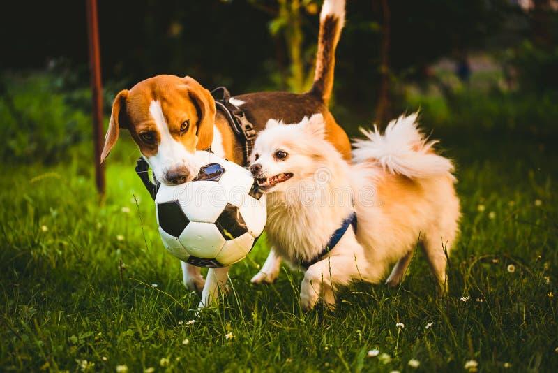 Бигль и немецкое klein шпица играя вместе с шариком и ходом футбола в зеленом саде парка стоковые фото