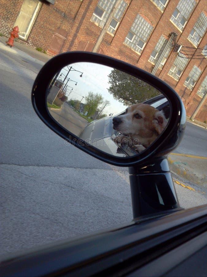 Бигль езды автомобиля стоковое фото