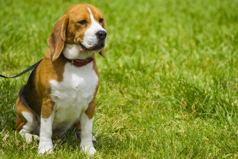 Бигль собаки на зеленой траве бигль крупного плана Собаки бигля, портрет стоковые фото