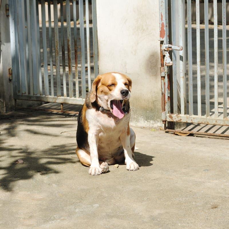 Бигль щенка зевая в утре стоковое изображение
