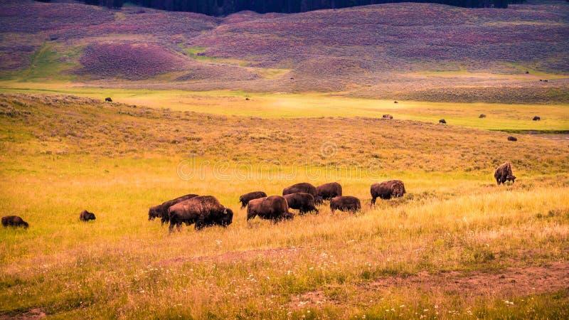 Бизоны долины Hayden стоковое изображение rf