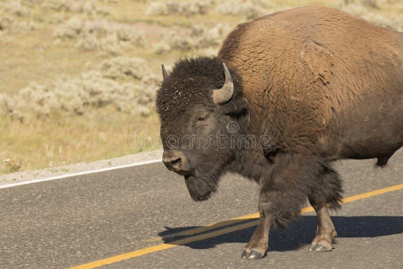 Бизон буйвола в долине Йеллоустоне Lamar стоковые изображения rf