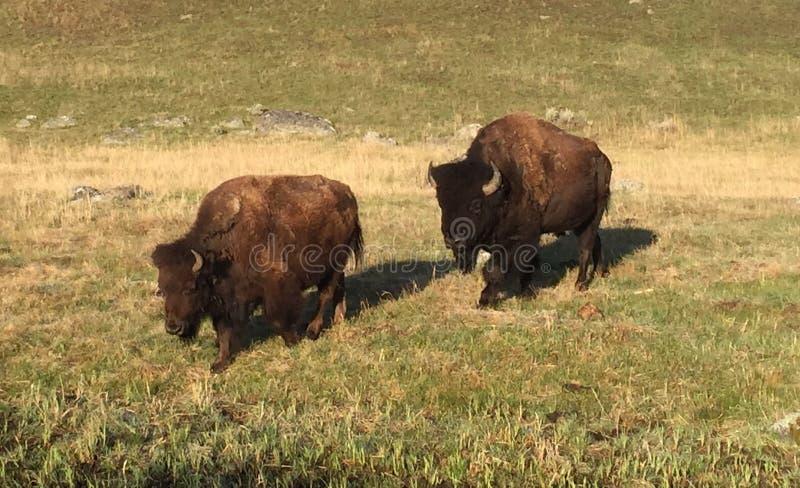 Бизон буйвола стоковые фото