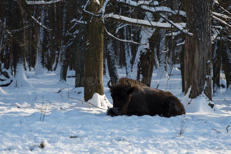 Бизон в покрытом снег заповеднике России Prioksko-Terrasny стоковые фото