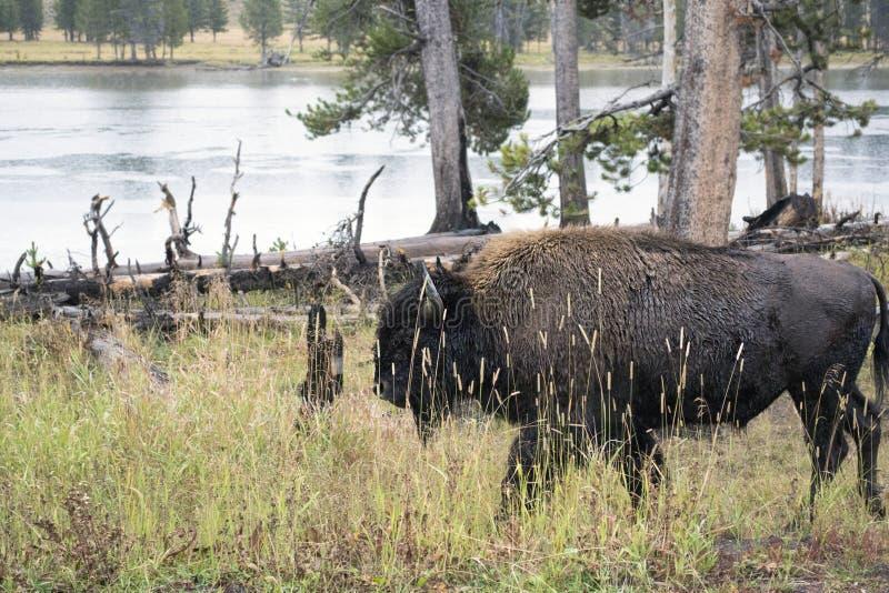 Бизон в природе стоковое изображение rf