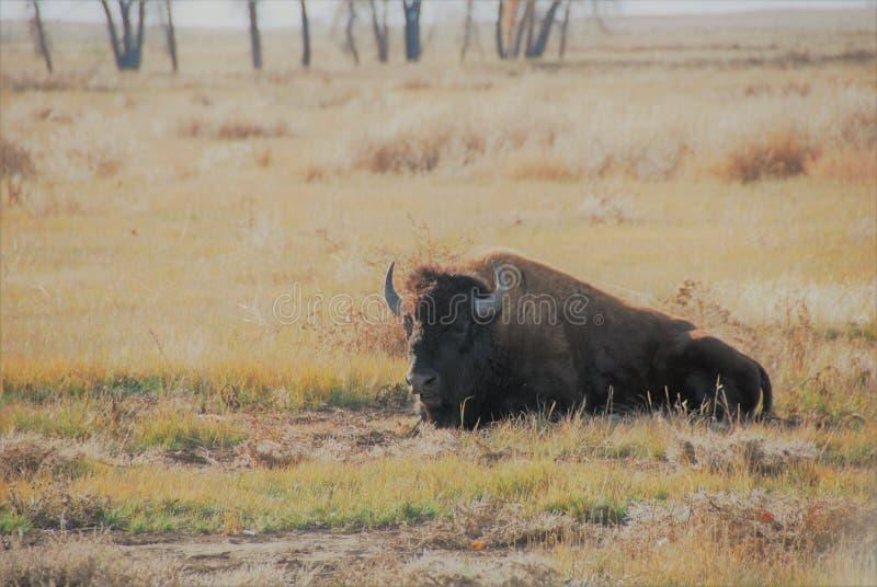 Бизон в траве стоковое фото rf