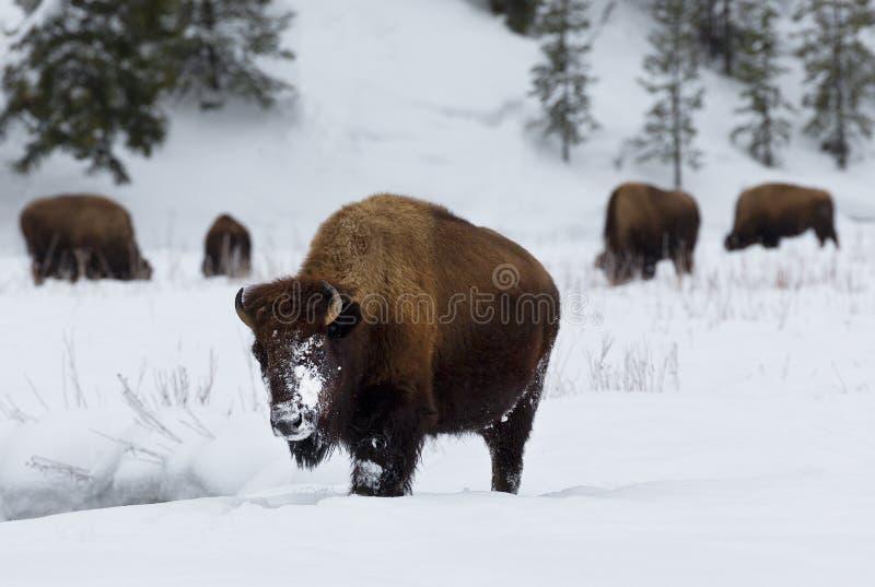 Бизон, зима, национальный парк Йеллоустона стоковые фотографии rf