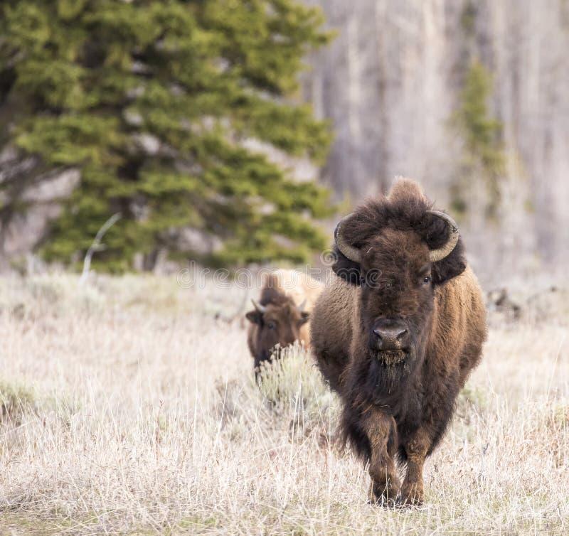 Бизон идя вперед в траву с предпосылкой дерева стоковые фотографии rf