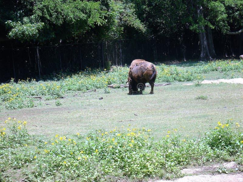Бизон на зоопарке стоковая фотография rf