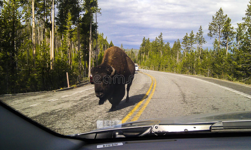 Бизон на дороге стоковое фото rf