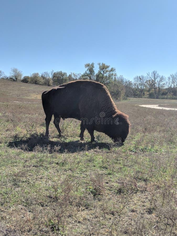 Бизон на парке стоковое фото