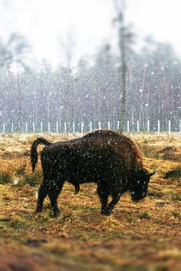 Бизон на поле стоковое фото
