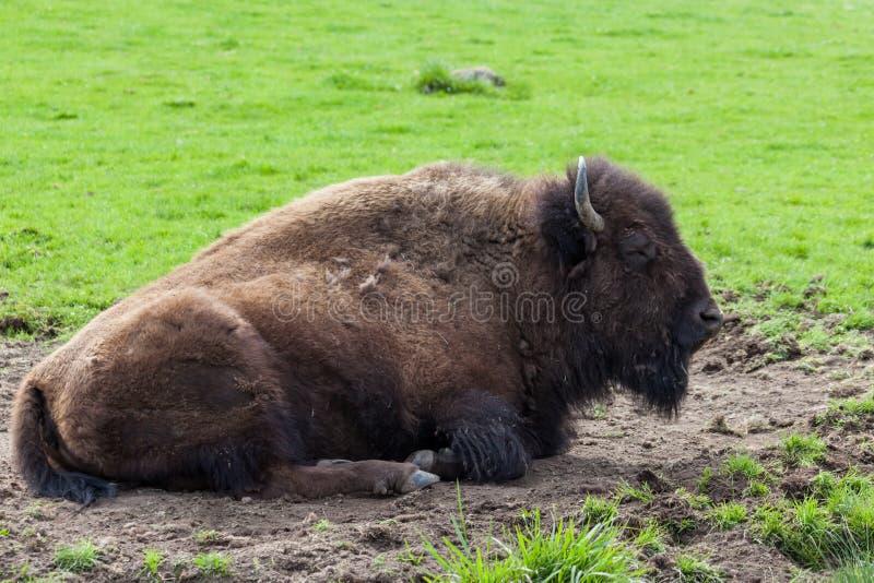 Бизон спать стоковые фотографии rf
