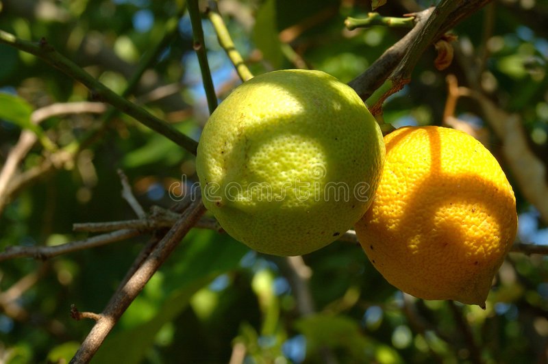 биологические лимоны стоковое изображение