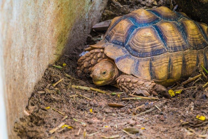 бирманская черепаха звезды стоковая фотография