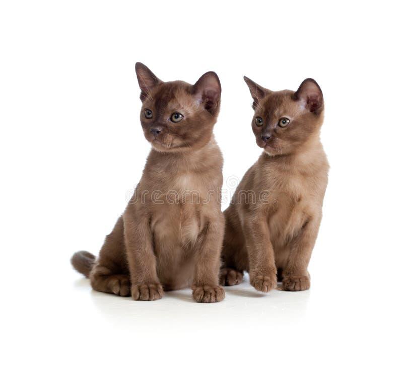 бирманские коты сидя белизна стоковое изображение rf