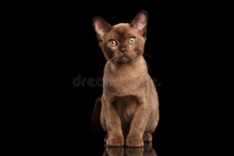 Бирманский котенок при мех шоколада сидя на изолированной черной предпосылке стоковые фото