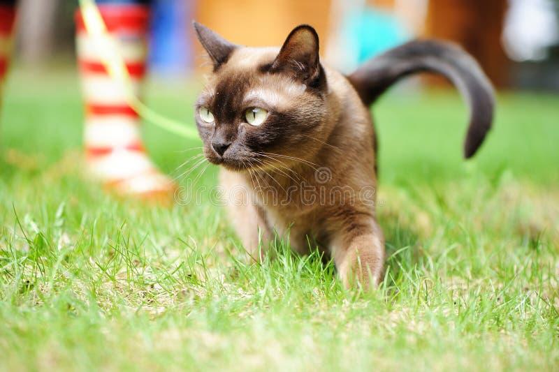 Бирманский кот идя на зеленую траву стоковое фото