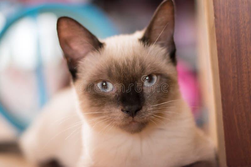 Бирманский кот шоколада вытаращить в камере стоковое изображение rf