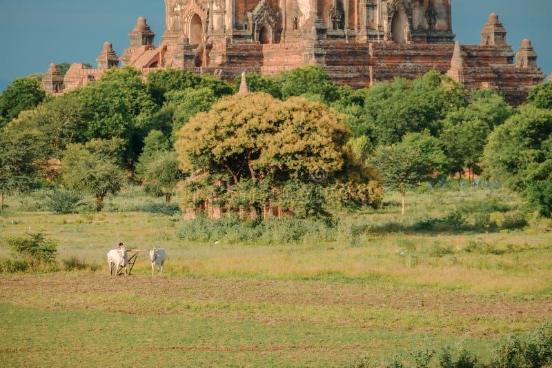 Бирманский фермер работает с быками на его поле риса с красивыми древними храмами и предпосылке пагоды в археологическом стоковое фото