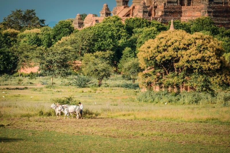 Бирманский фермер работает с быками на его поле риса с красивыми древними храмами и предпосылке пагоды в археологическом стоковые изображения