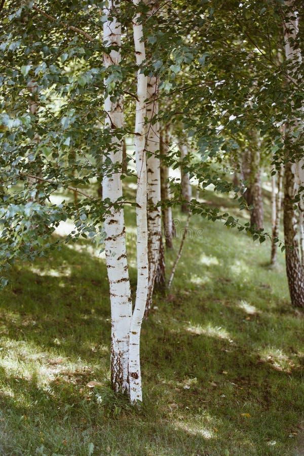 Бирч Гров Молодые тонко-белые березы растут в рощах, красивых природных фонов стоковые фото