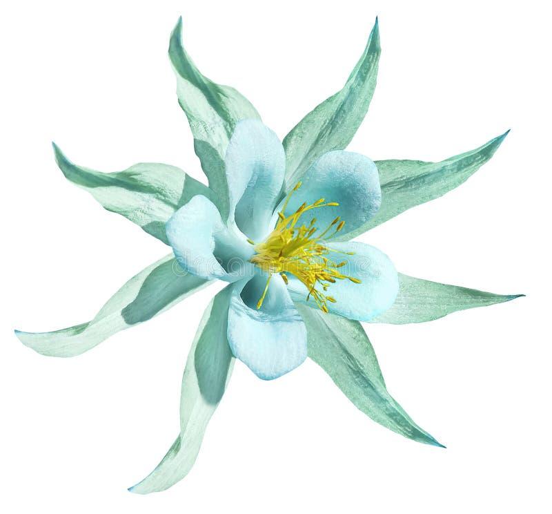 Бирюза цветка Изолировано на белой предпосылке с путем клиппирования Отсутствие теней closeup Красивый свет - голубые blos первоц стоковое фото
