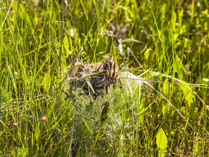 Бич гусениц на траве стоковые фотографии rf