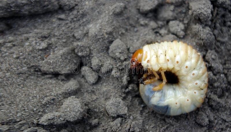 Бич полей и огородов Личинка жука в мае стоковые изображения rf