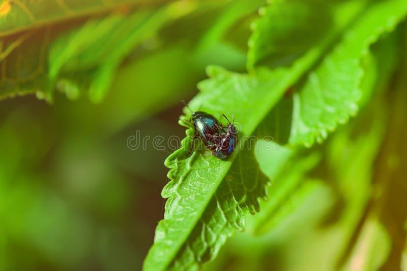 Бич сада черепашки насекомого, крестоцветный Phyllotreta жука блохи капусты в зеленых листьях молодого соития стоковые фото
