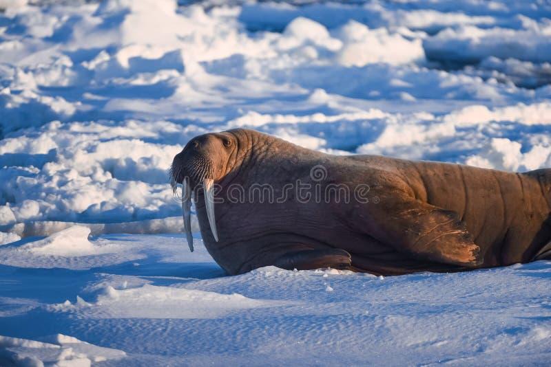 Благоустраивайте моржа природы на ледяном поле дня солнечности зимы Шпицбергена Longyearbyen Свальбарда ледовитого стоковая фотография rf