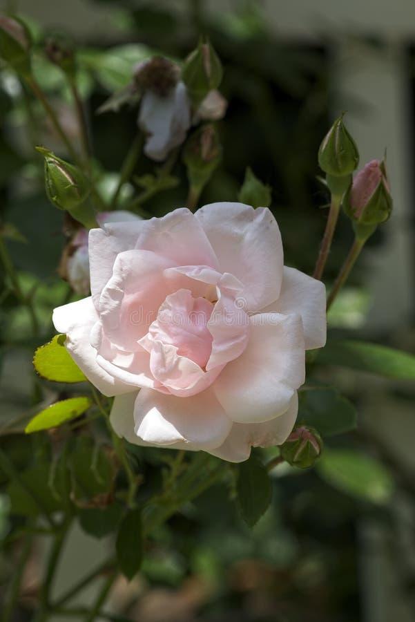Бледный краснеет Роза в саде Индианы стоковые фотографии rf