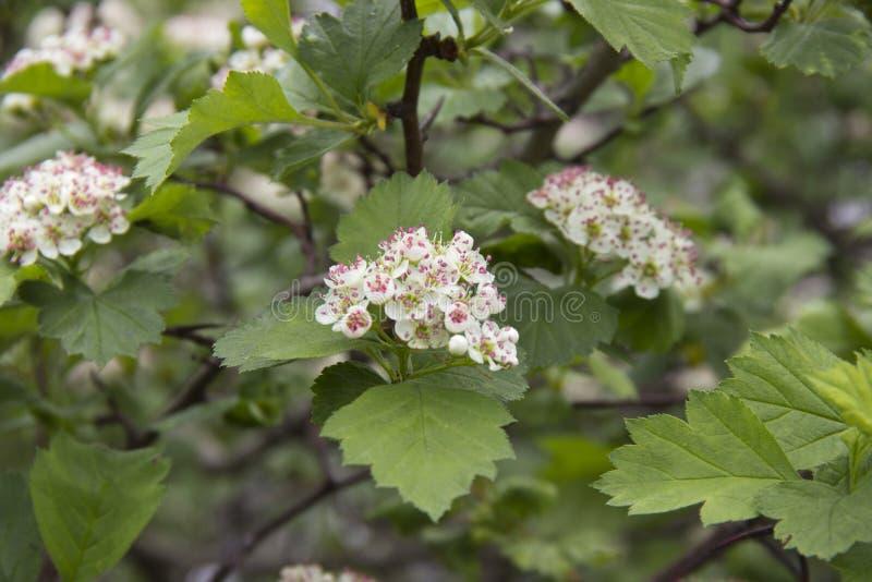 Бледный - розовые зацветая цветки ежевики в конце весеннего сезона стоковое изображение