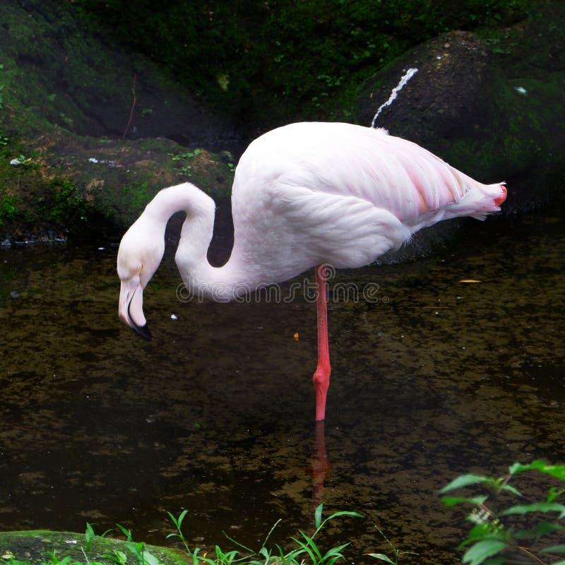 Бледный фламинго стоковая фотография rf