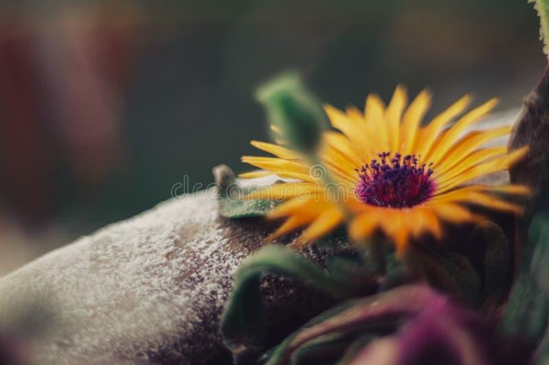 Блеск цветка Солнца до конца стоковое изображение rf