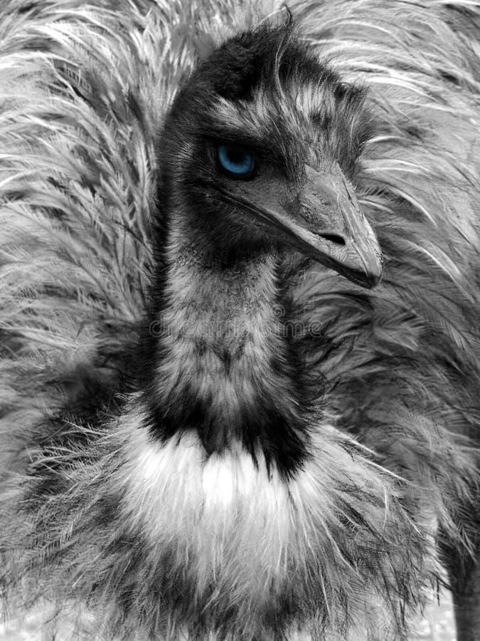 блестнян Emu Стоковая Фотография