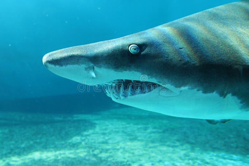 близкая акула песка вверх по взгляду стоковое фото