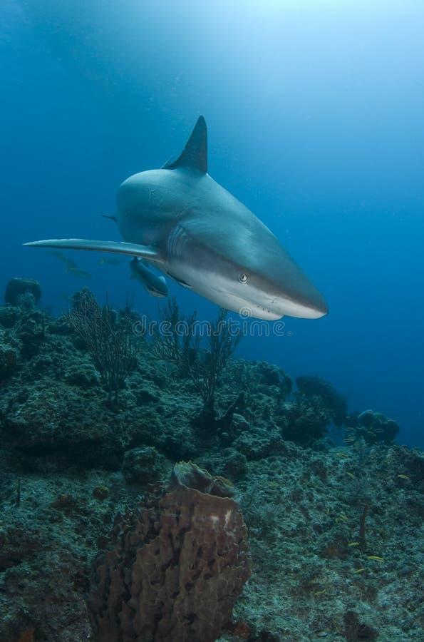 близкая акула рифа стоковые фото