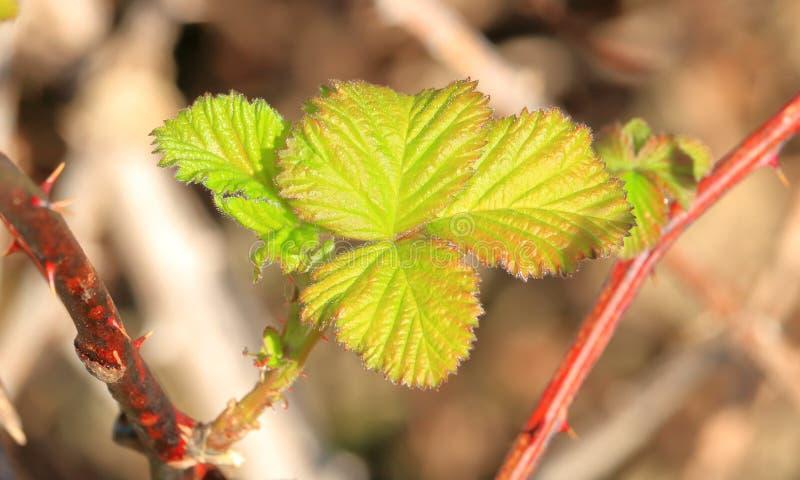 Близкая деталь листьев ежевики стоковые фото