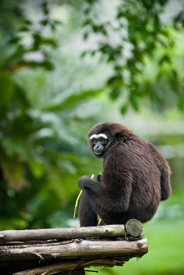 близкая обезьяна вверх стоковые фотографии rf