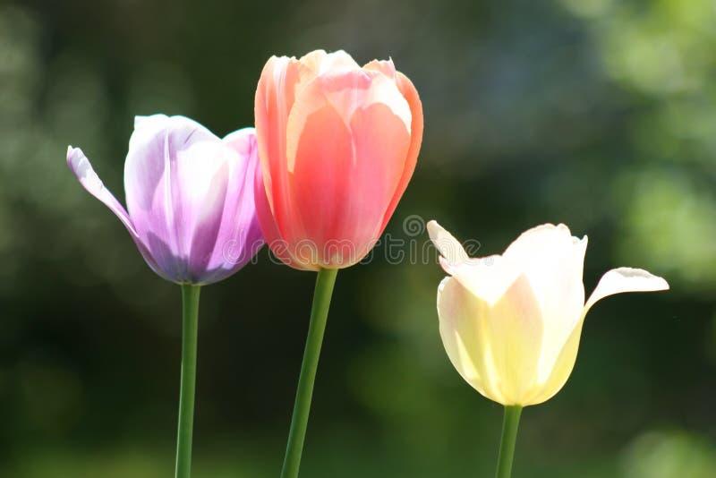 близкая пасха 3 тюльпана стоковая фотография rf