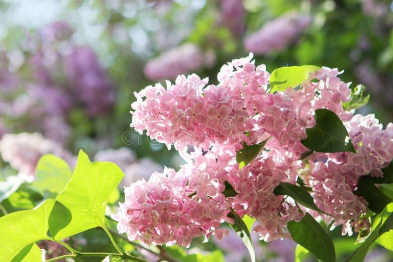 Близкая поднимающая вверх ветвь РОЗОВЫХ зацветая цветков сирени в саде Киева ботаническом на ярком солнечном весеннем дне стоковое изображение rf