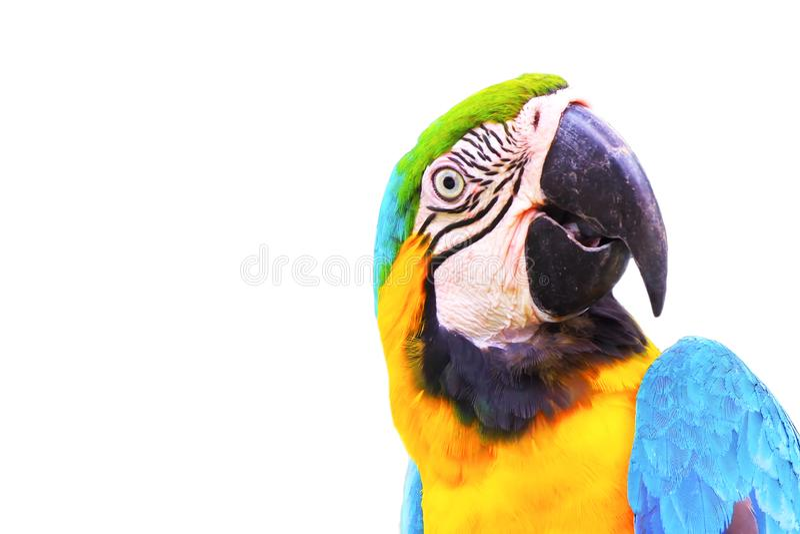 Близкая поднимающая вверх голова попугая ары изолированная на белой предпосылке стоковые изображения rf