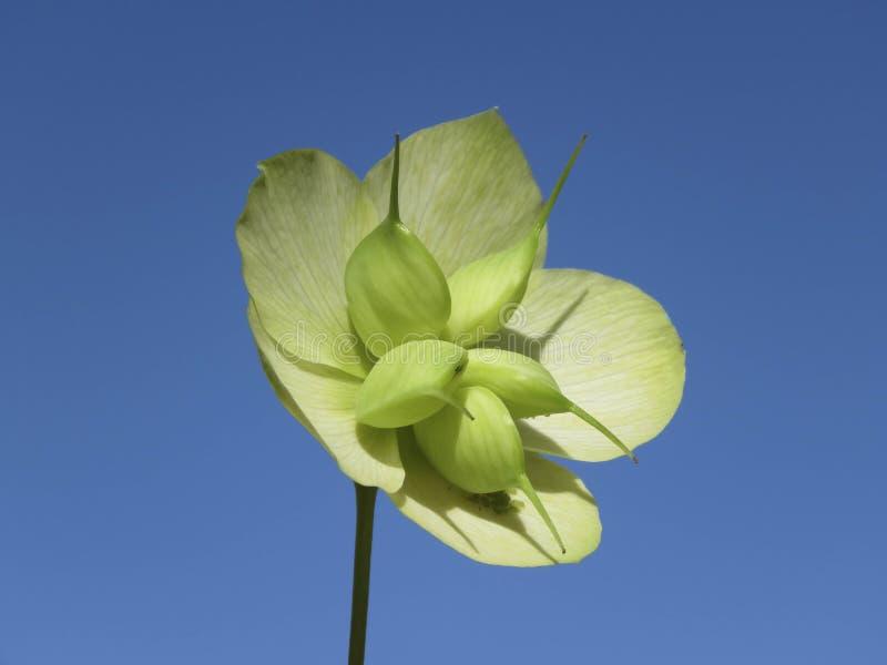 Близкая поднимающая вверх деталь головы семени Orientalis морозника белой стоковое фото