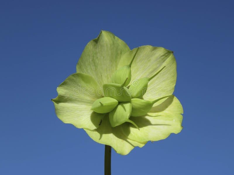 Близкая поднимающая вверх деталь головы семени Orientalis морозника белой стоковые фотографии rf