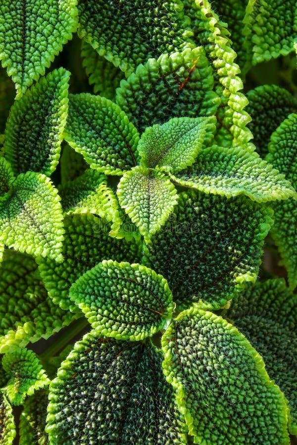 Близкая поднимающая вверх деталь листьев бегонии стоковое изображение rf