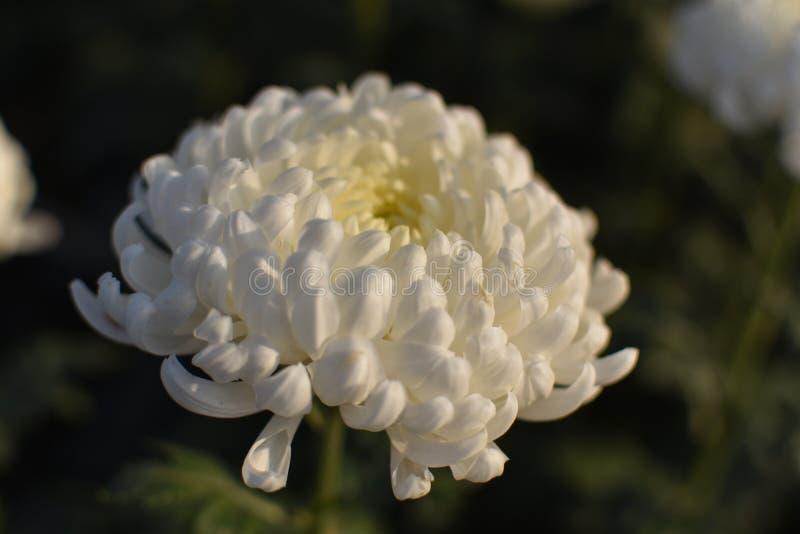 Близкая поднимающая вверх съемка желтых поставленных точки белых покрашенных цветков chandramallika хризантемы как предпосылки r стоковые фотографии rf