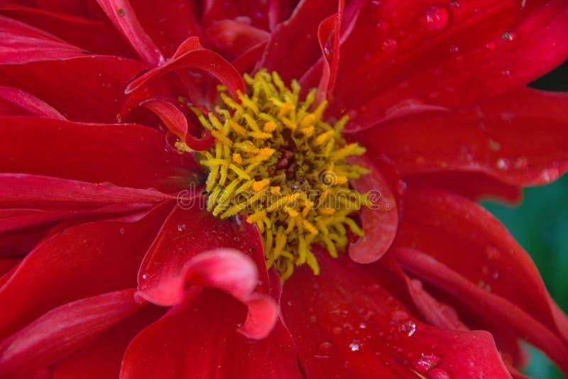 Близкая поднимающая вверх съемка красного цветка георгина стоковое изображение